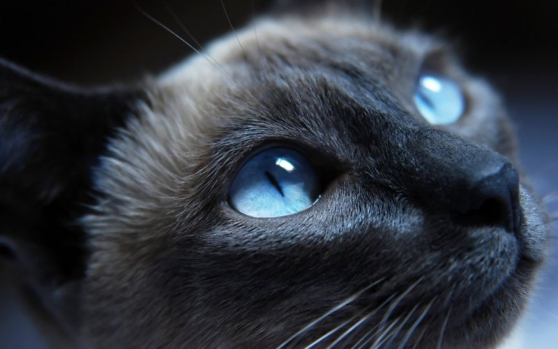 Siamese cat with blue eyes wallpaper