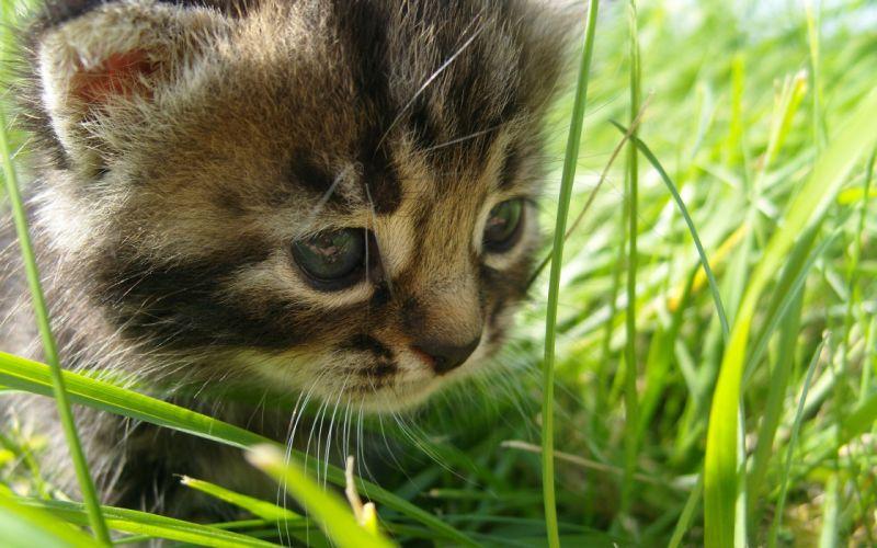 Kitten in the grass wallpaper