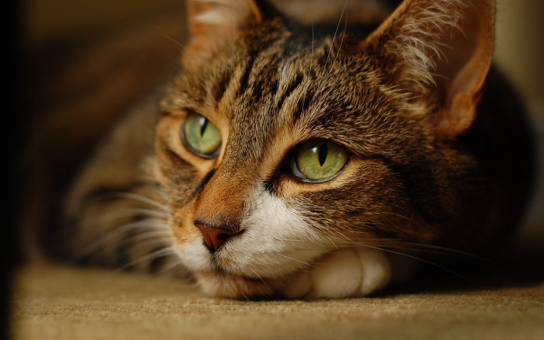 Brown cat with green eyes wallpaper