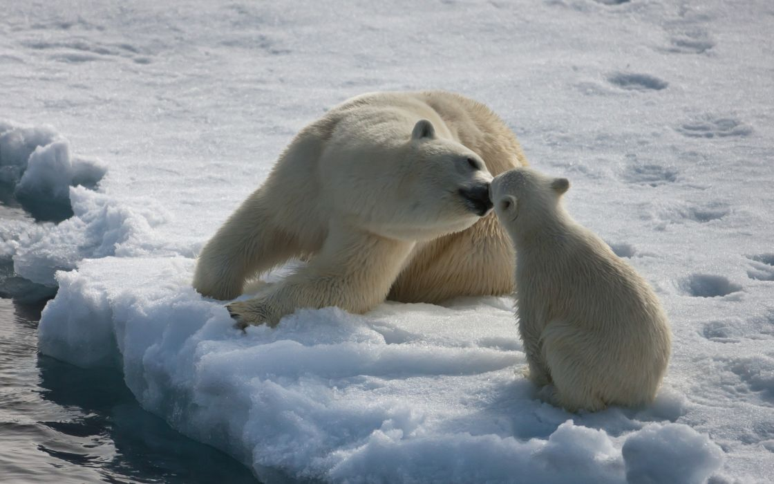 Mother polar bear and the cub wallpaper