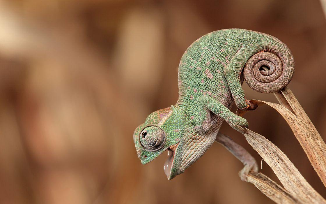 Baby chameleon wallpaper