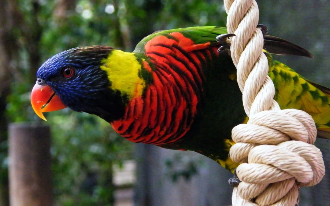 Parrot on rope wallpaper