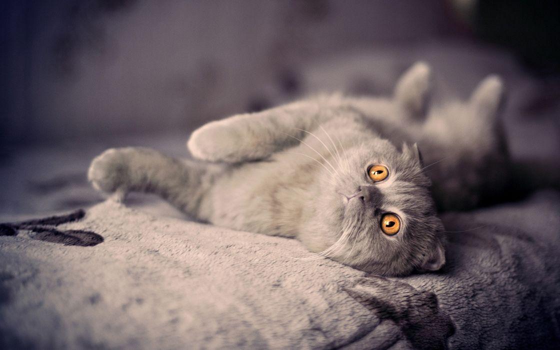 Cuddly cat with orange eyes wallpaper