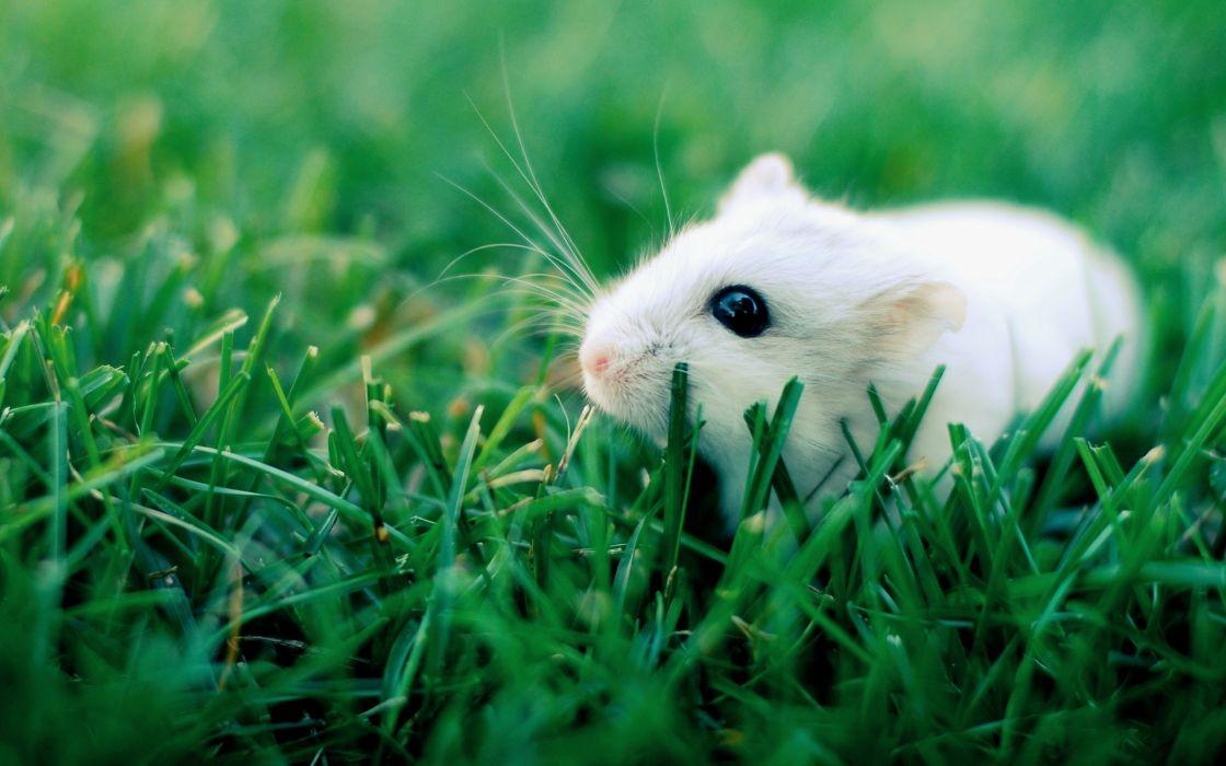 White hamster wallpaper