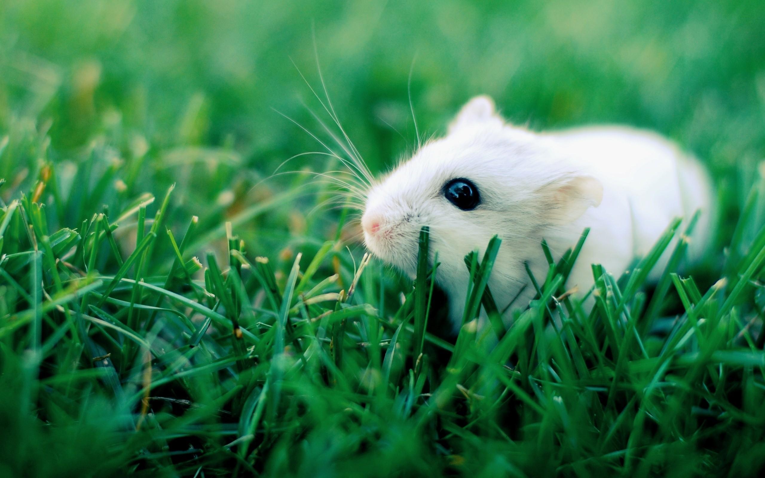 white hamster wallpaper 2560x1600 1053 wallpaperup
