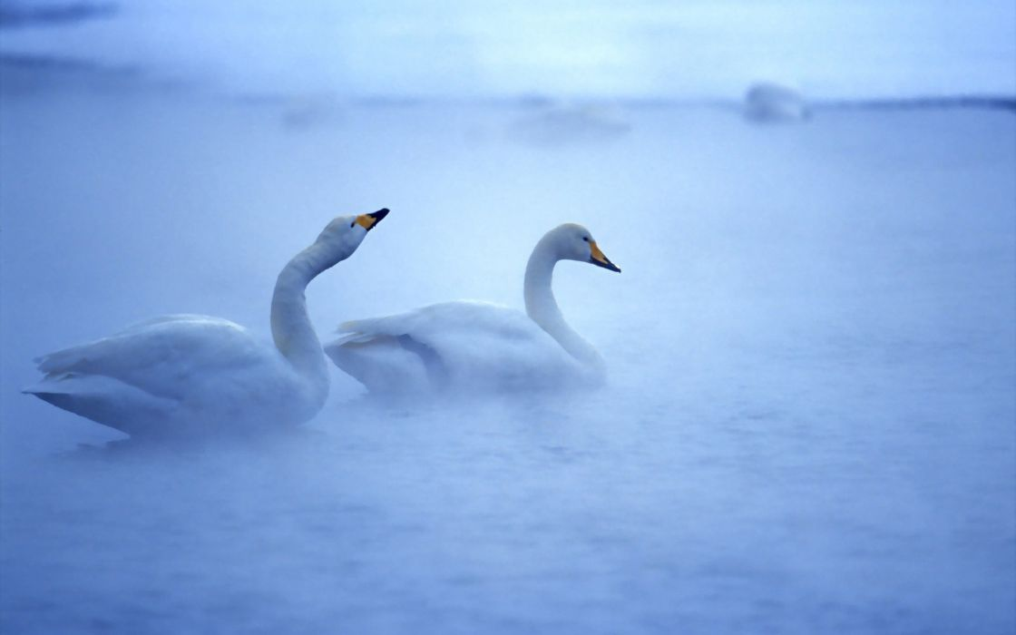 Two white swans in the mist wallpaper
