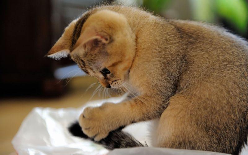 Scottish Shorthair kitten wallpaper