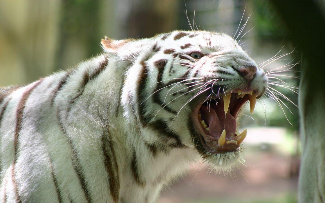 Asian tigre wallpaper