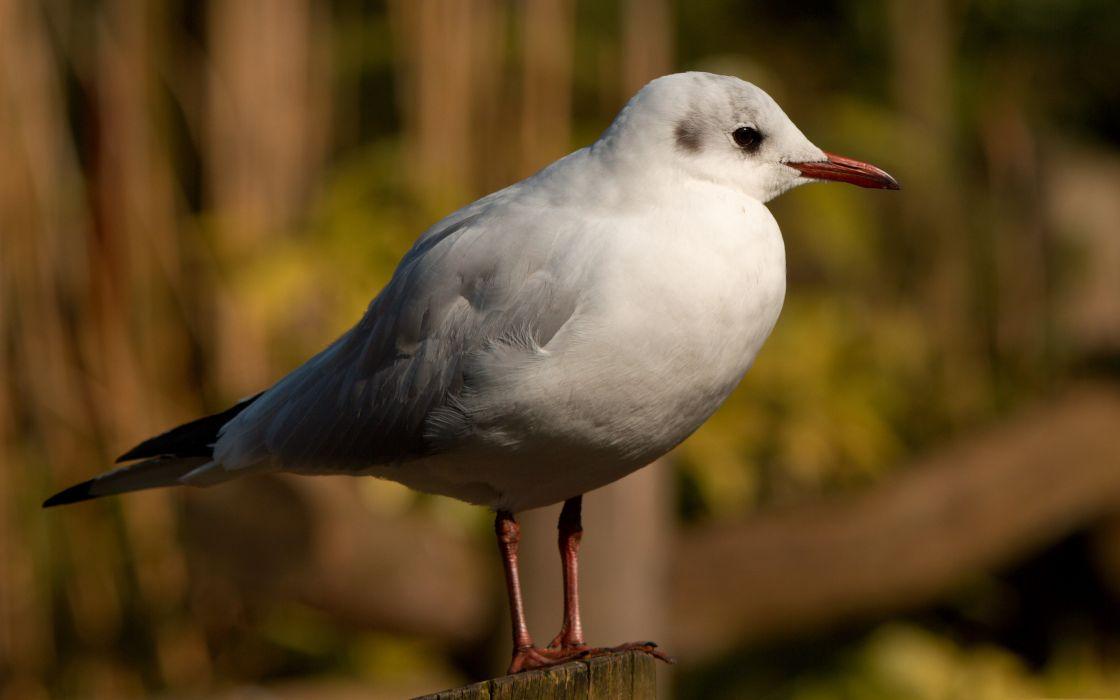 Seagull bird wallpaper