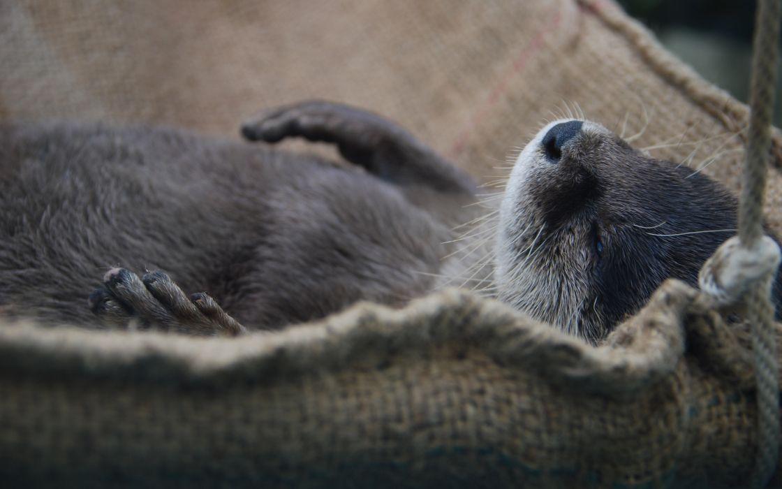 Nap otter wallpaper