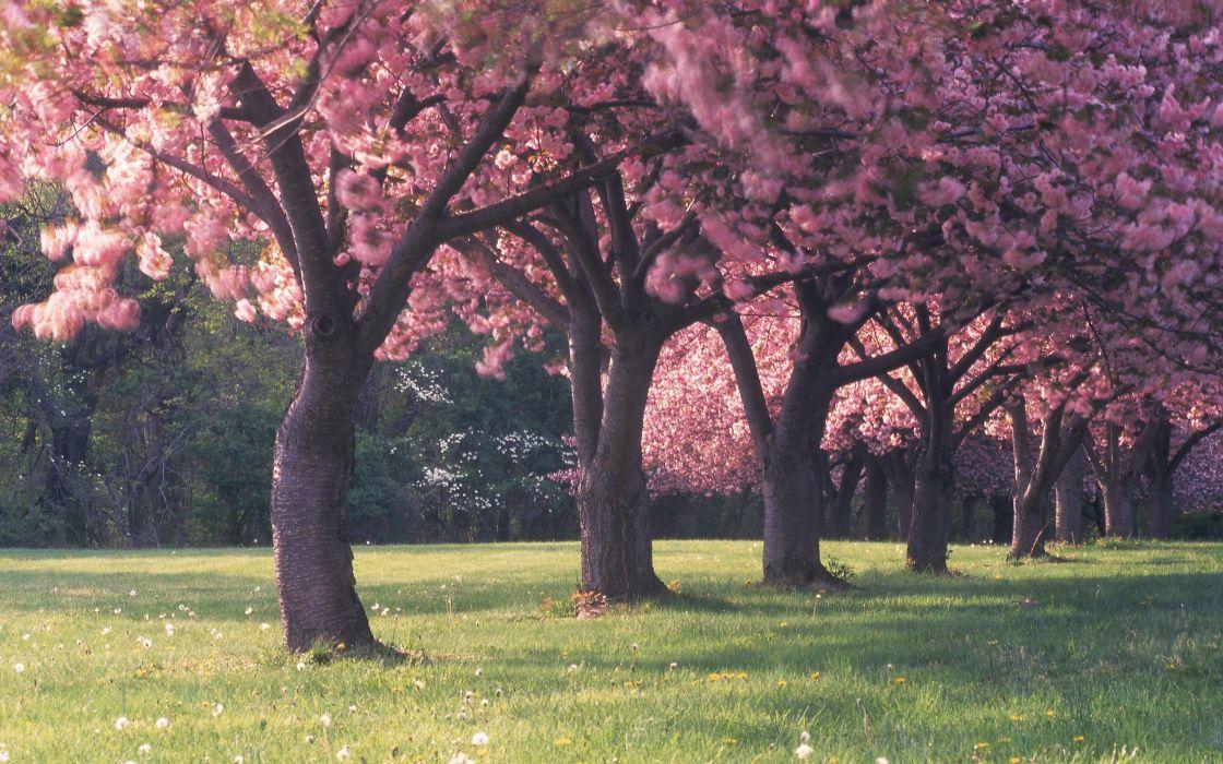Cherry blossom trees wallpaper