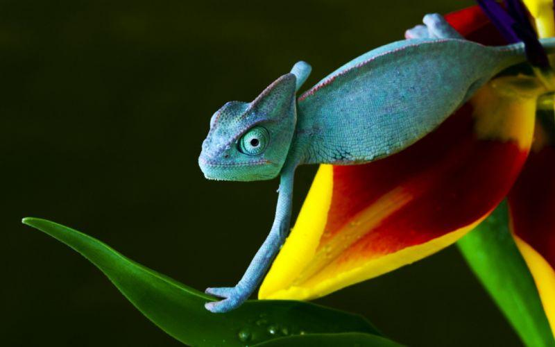Blue chameleon wallpaper