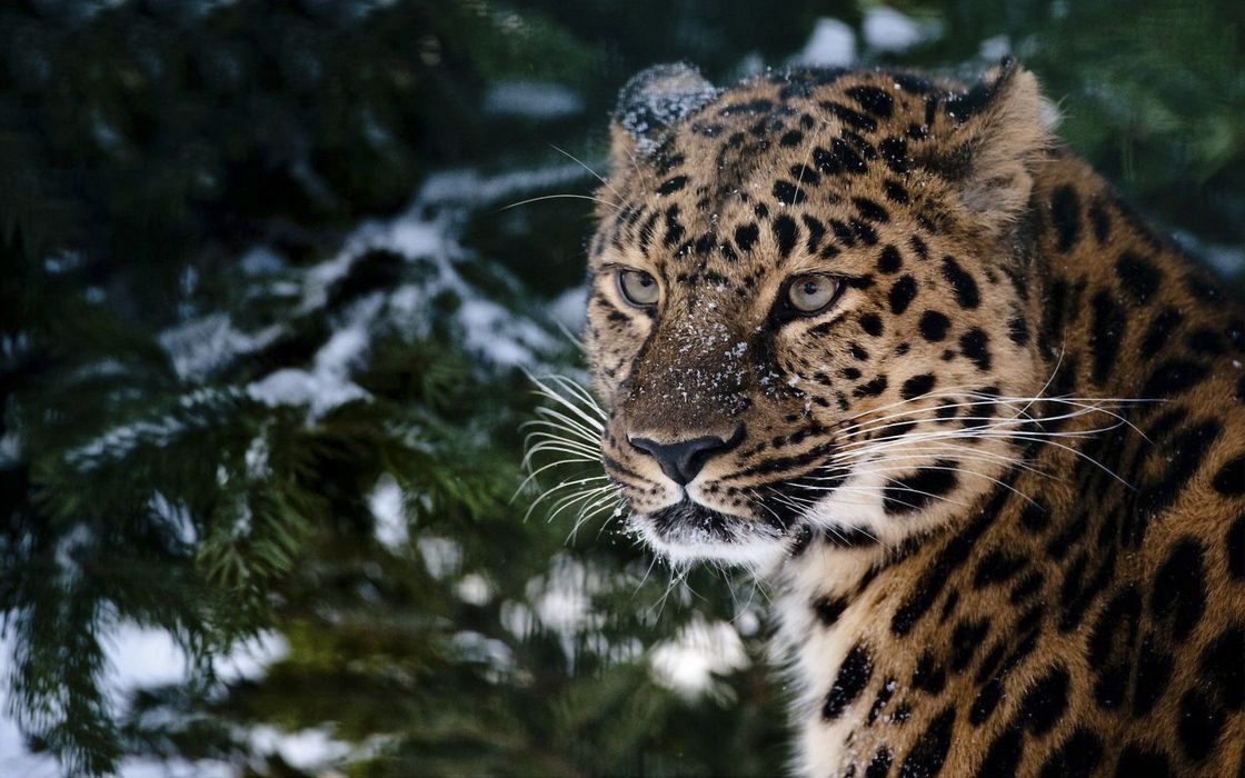 Leopard in the snow wallpaper
