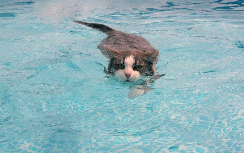 Swimmer cat wallpaper