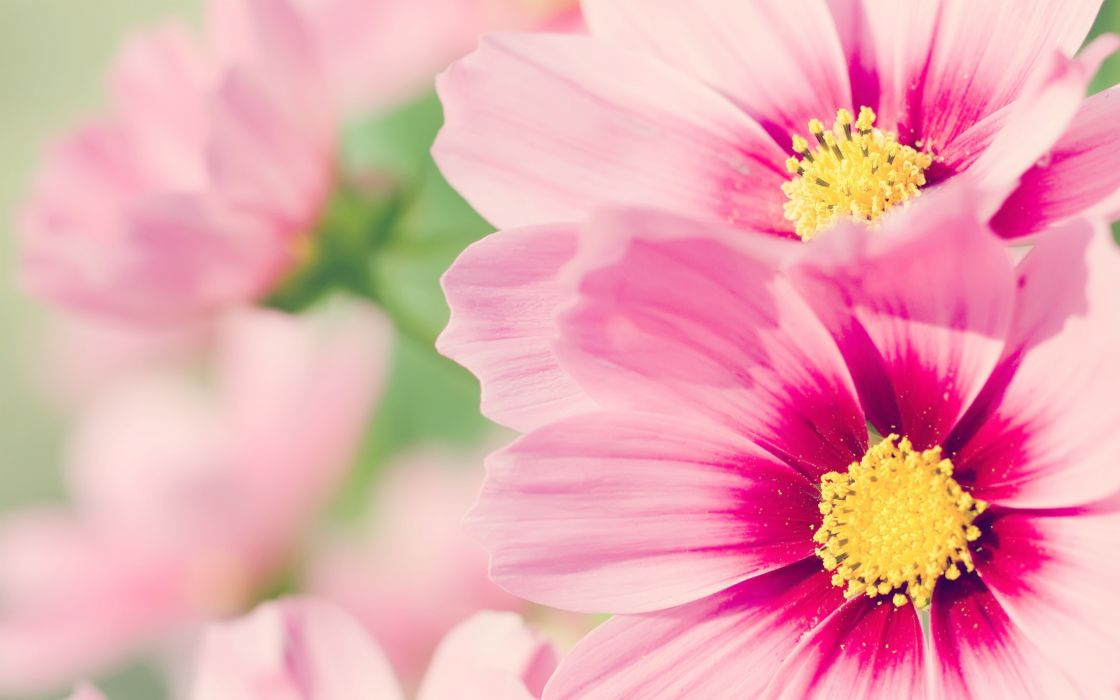 Pink daisies wallpaper