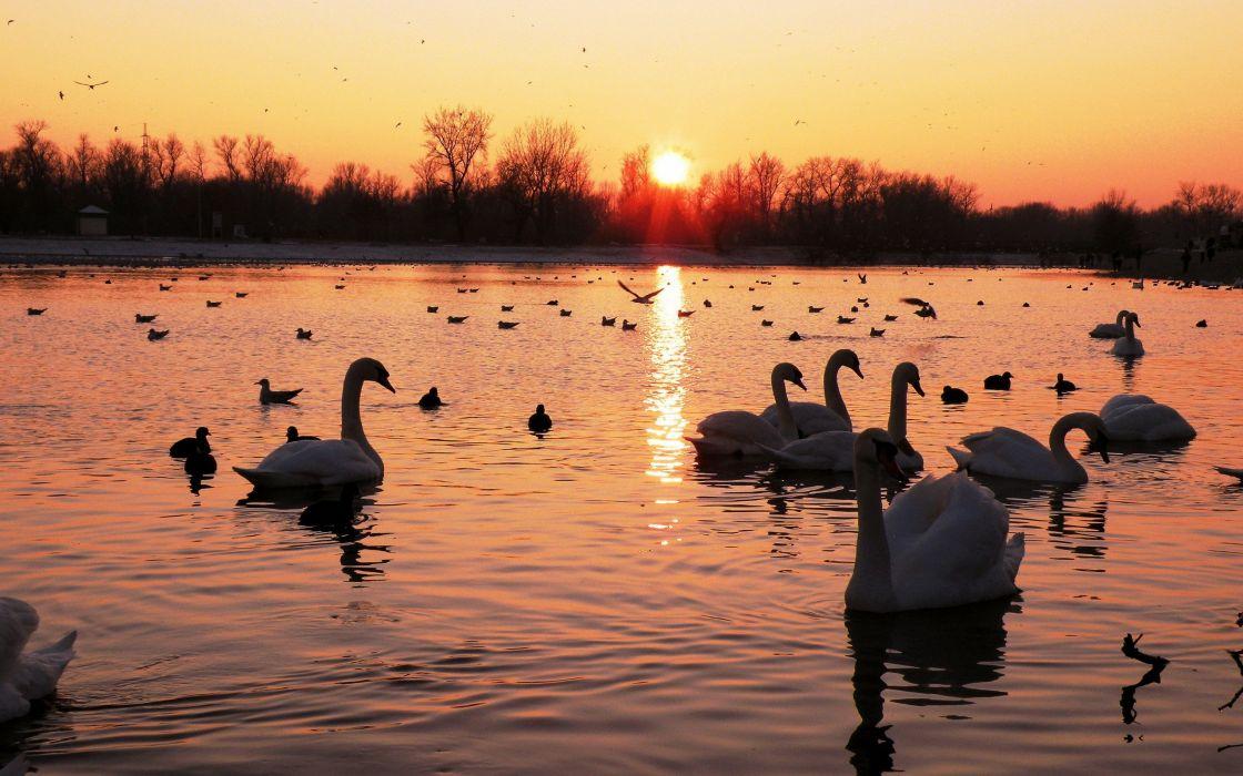 Swans world wallpaper