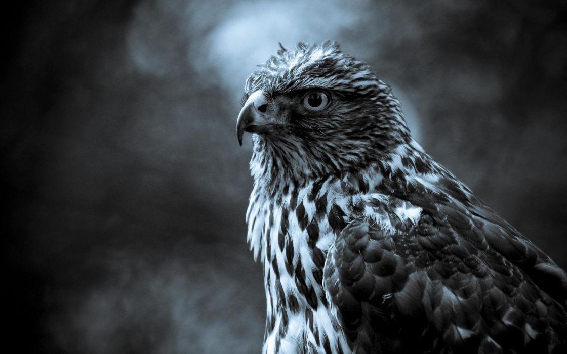 Black and white hawk wallpaper