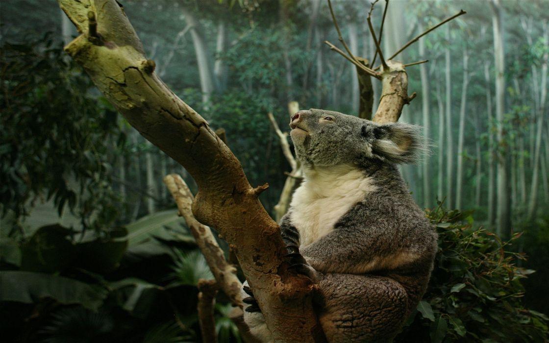 Koala in tree wallpaper