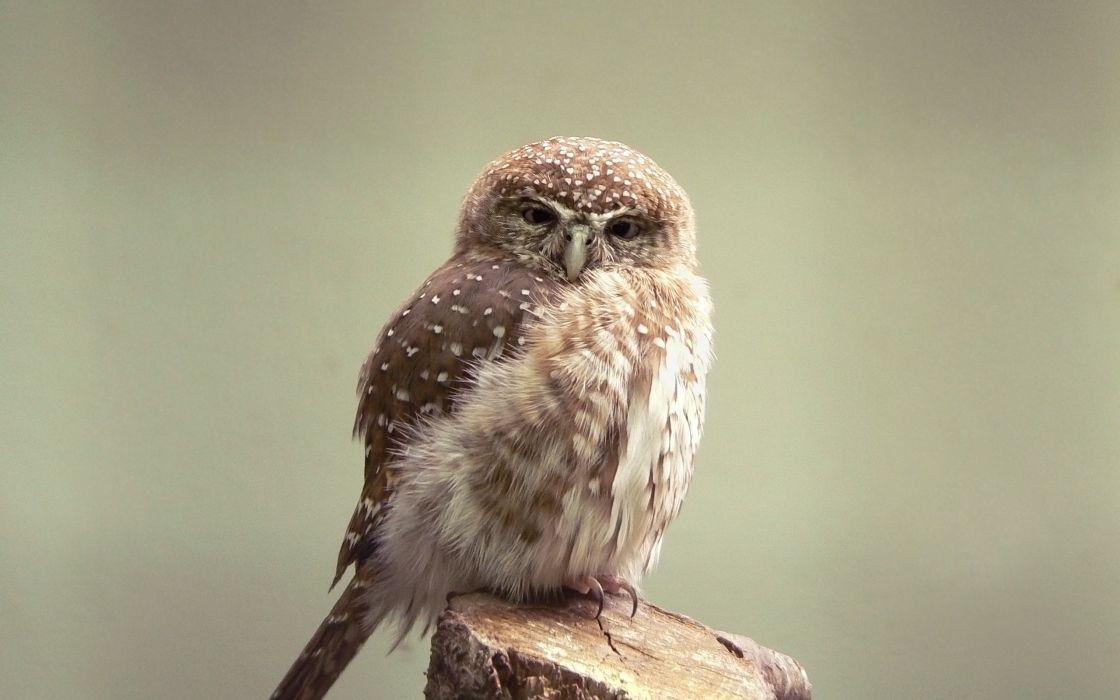 Small owl wallpaper