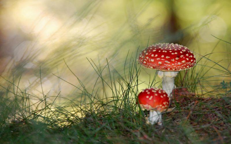 Poisonous mushrooms wallpaper