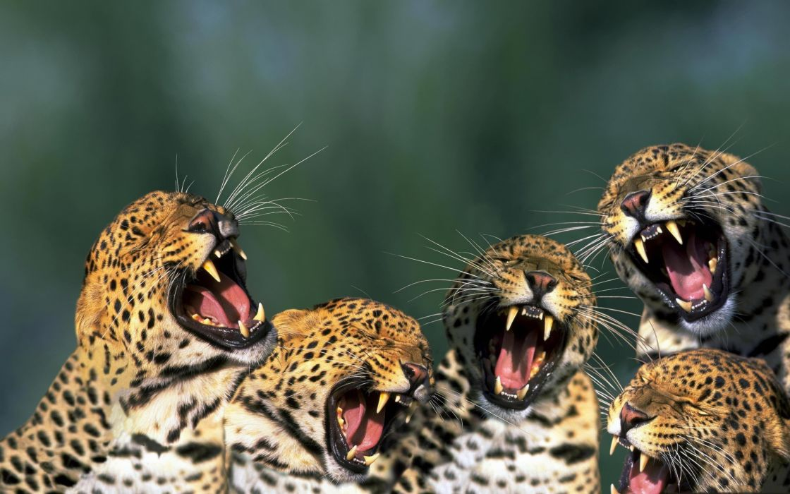 Funny leopards wallpaper