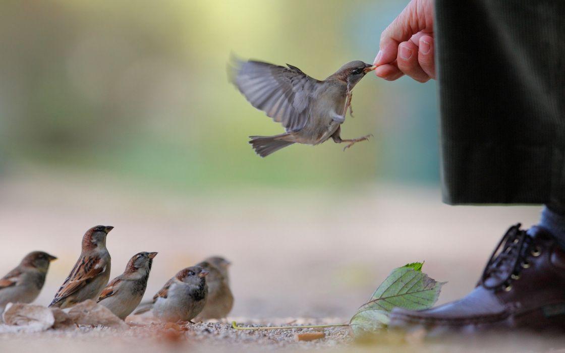 Feeding the sparrows wallpaper