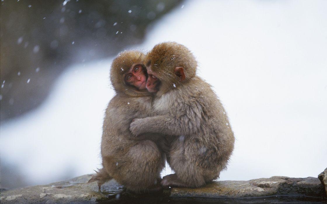 Macaques hug wallpaper