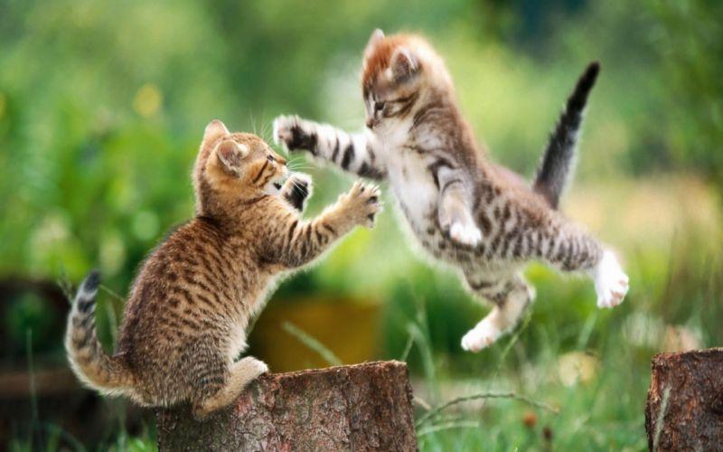 Fighting kittens wallpaper