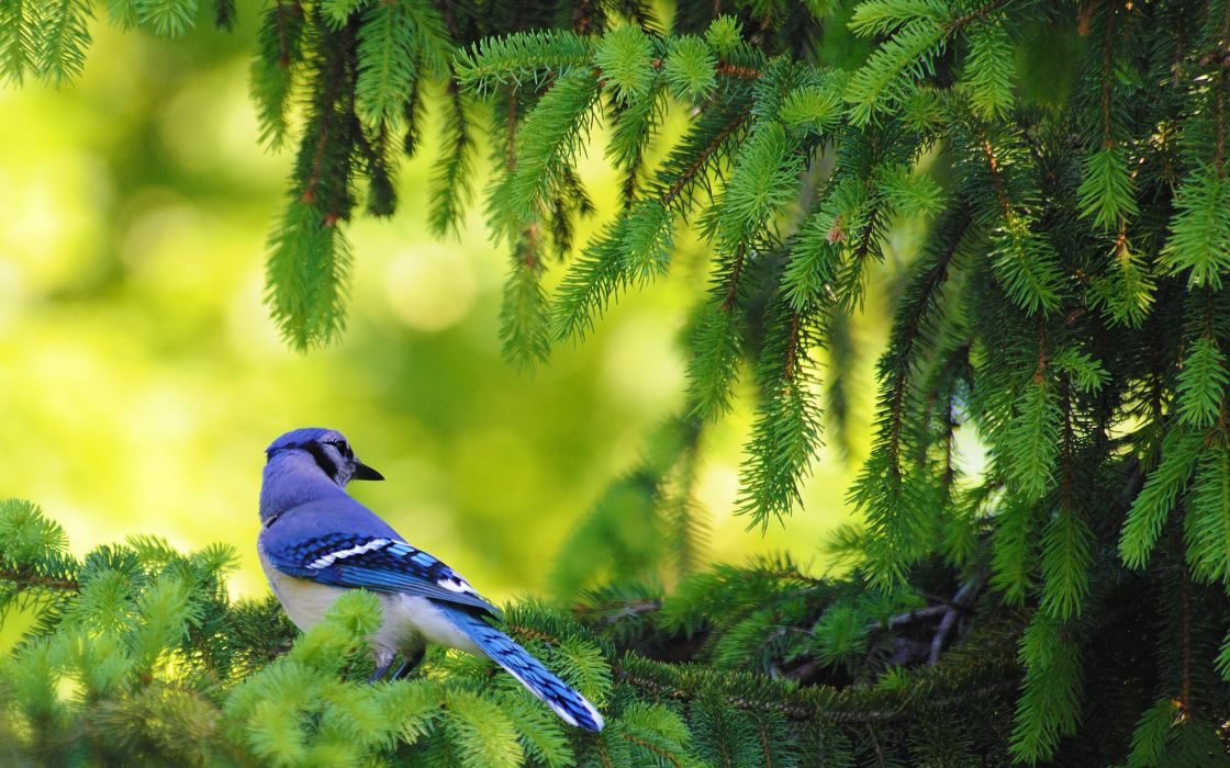 Blue jay bird wallpaper