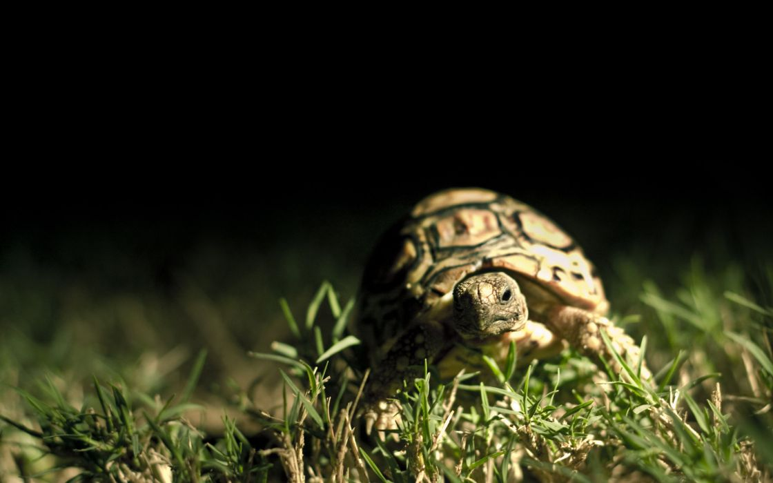 Turtle close up wallpaper
