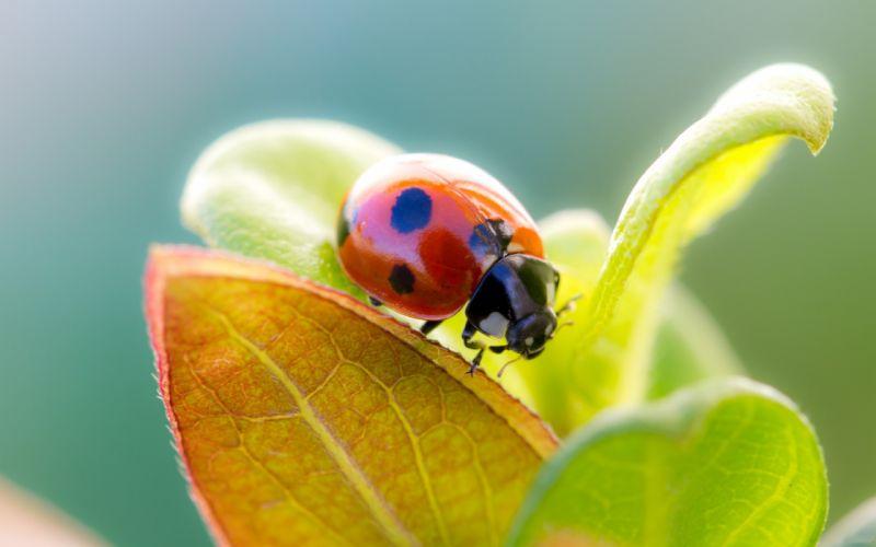 Ladybug over a leaf wallpaper