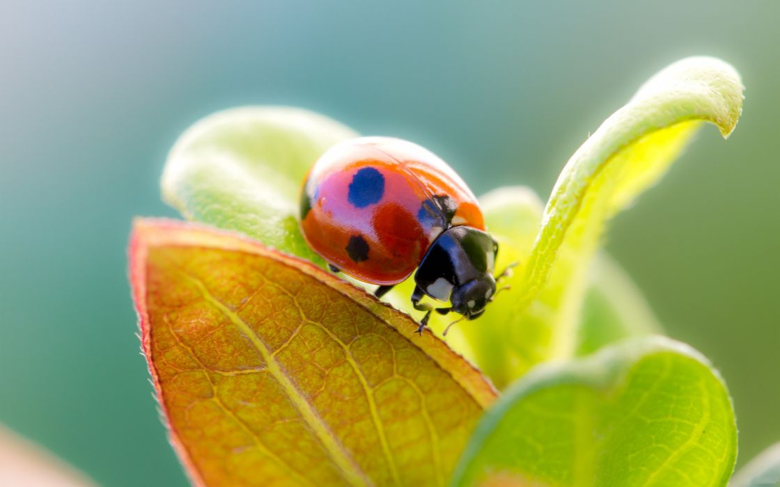 Ladybug over a leaf wallpaper