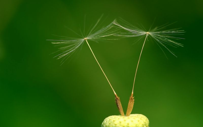 Dandelion seed head wallpaper
