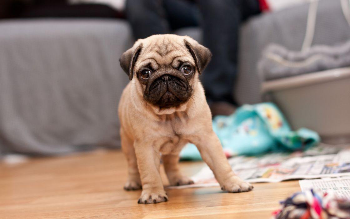 Pug puppy wallpaper