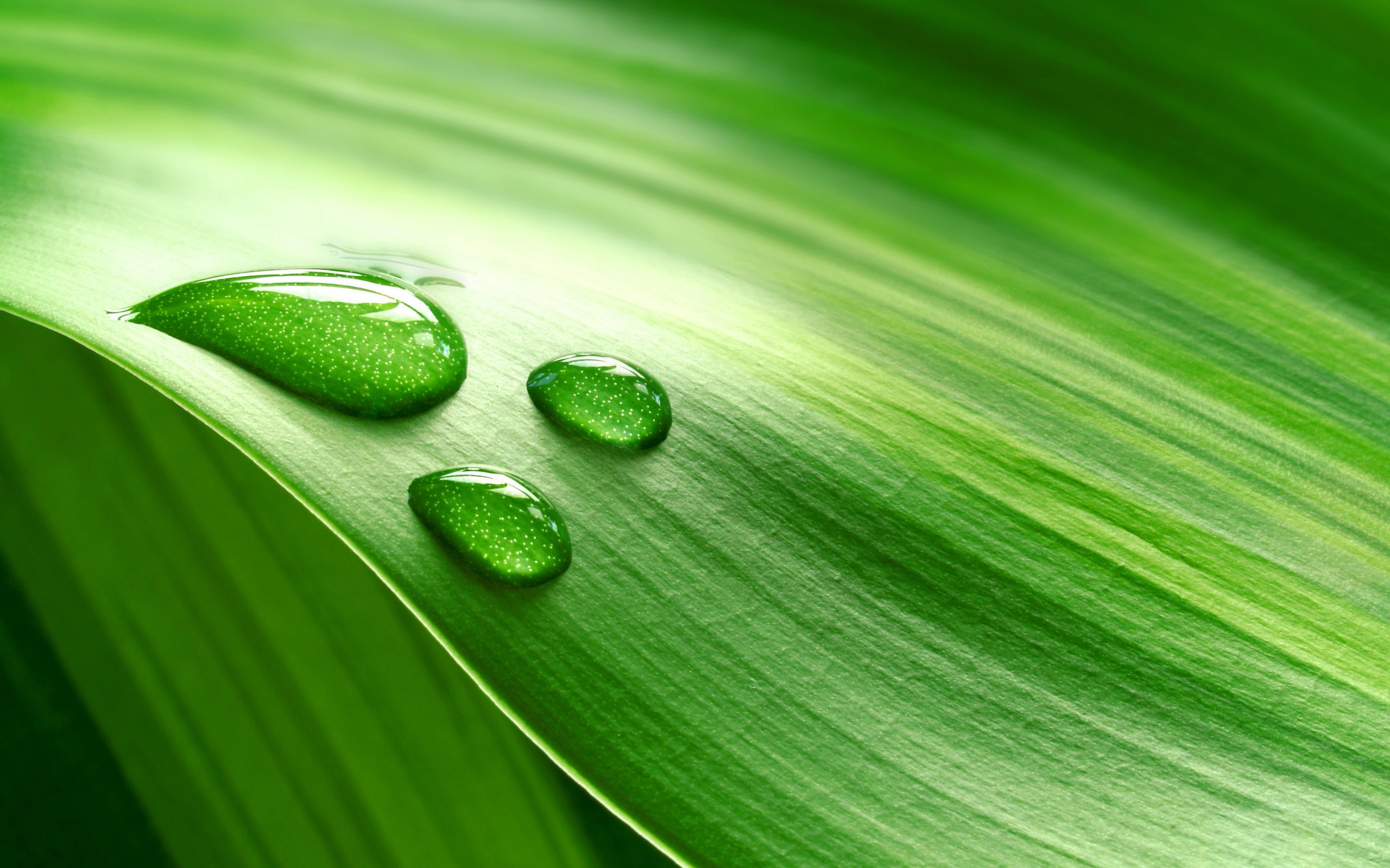 Dew drops on a leaf wallpaper | 2560x1600 | 1592 | WallpaperUP