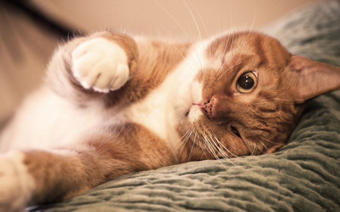 Ginger lazy cat wallpaper