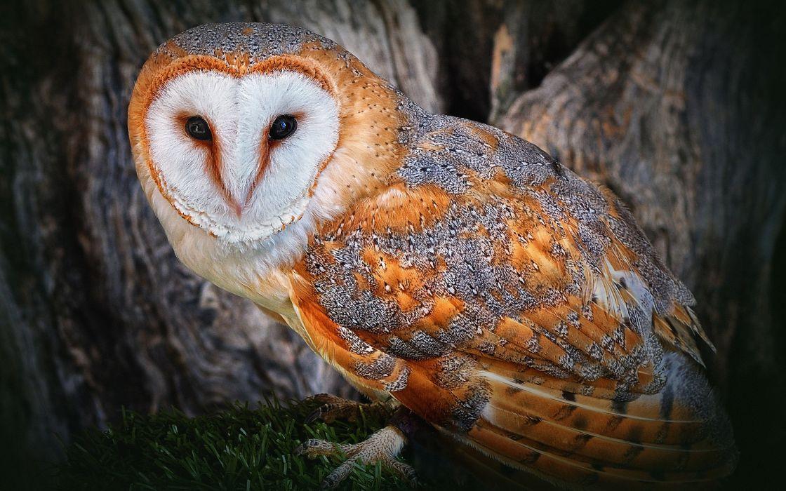 Beautiful snowy owl wallpaper
