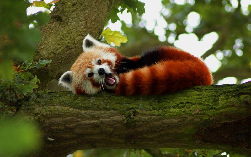 Red panda in tree wallpaper