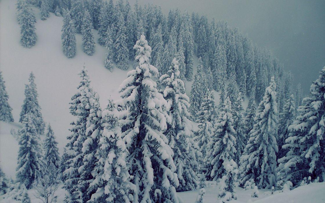 Snowed trees wallpaper