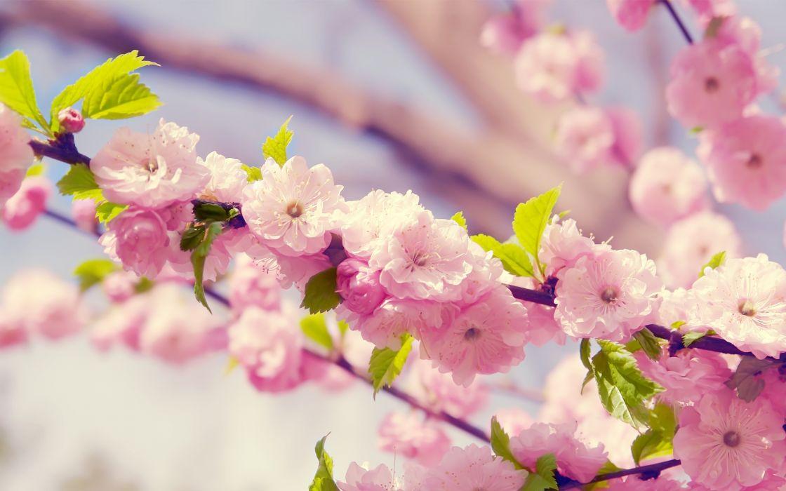 Cherries in bloom wallpaper