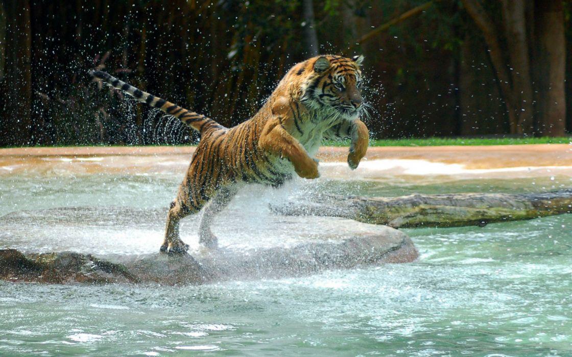 Powerful tiger jump wallpaper