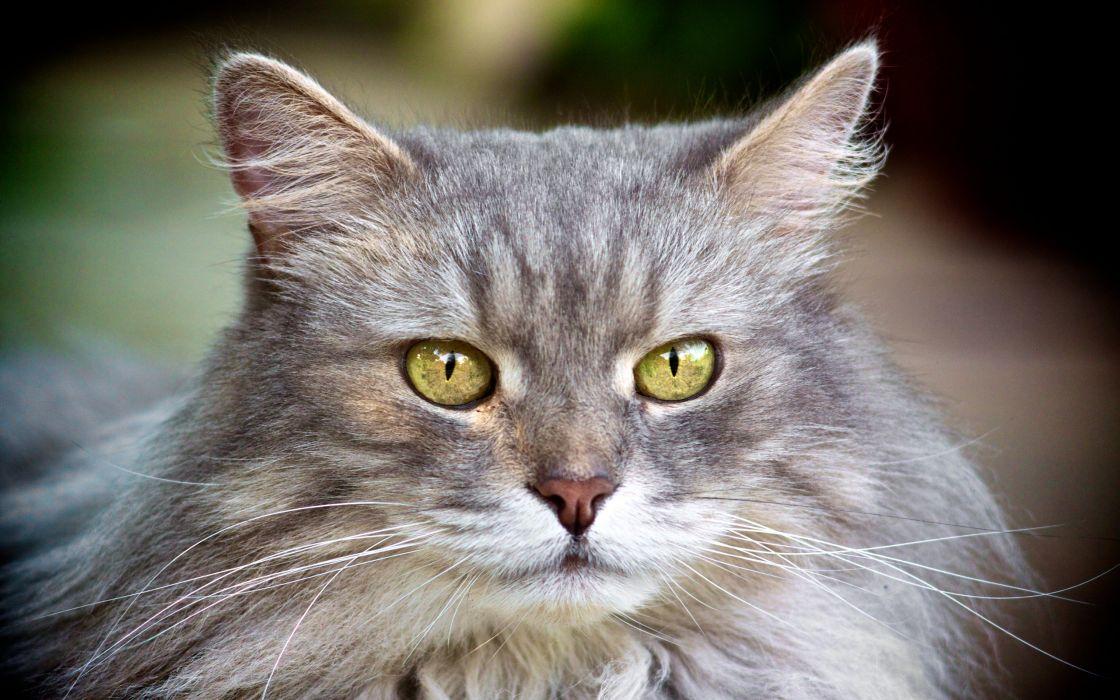 Beautiful gray cat wallpaper
