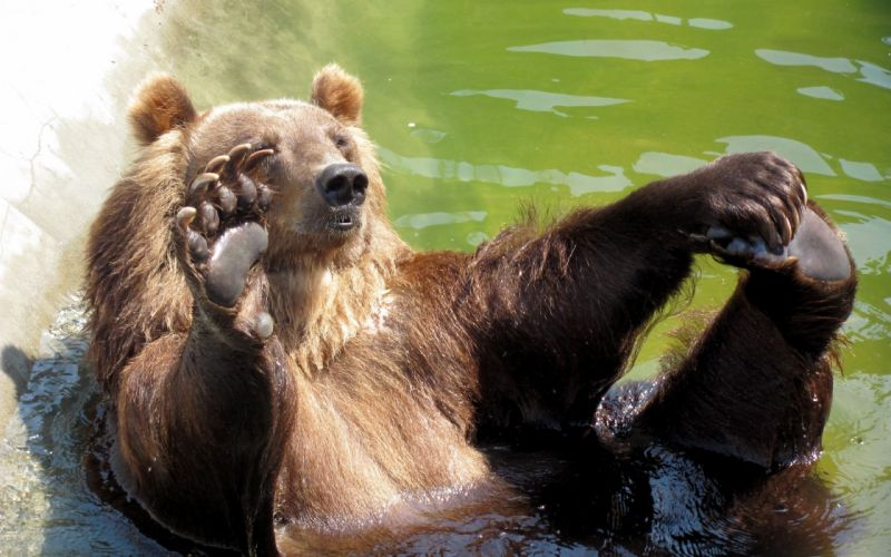 Bear playing in the green water wallpaper