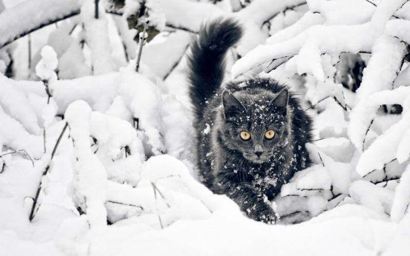 Black cat on the snow wallpaper