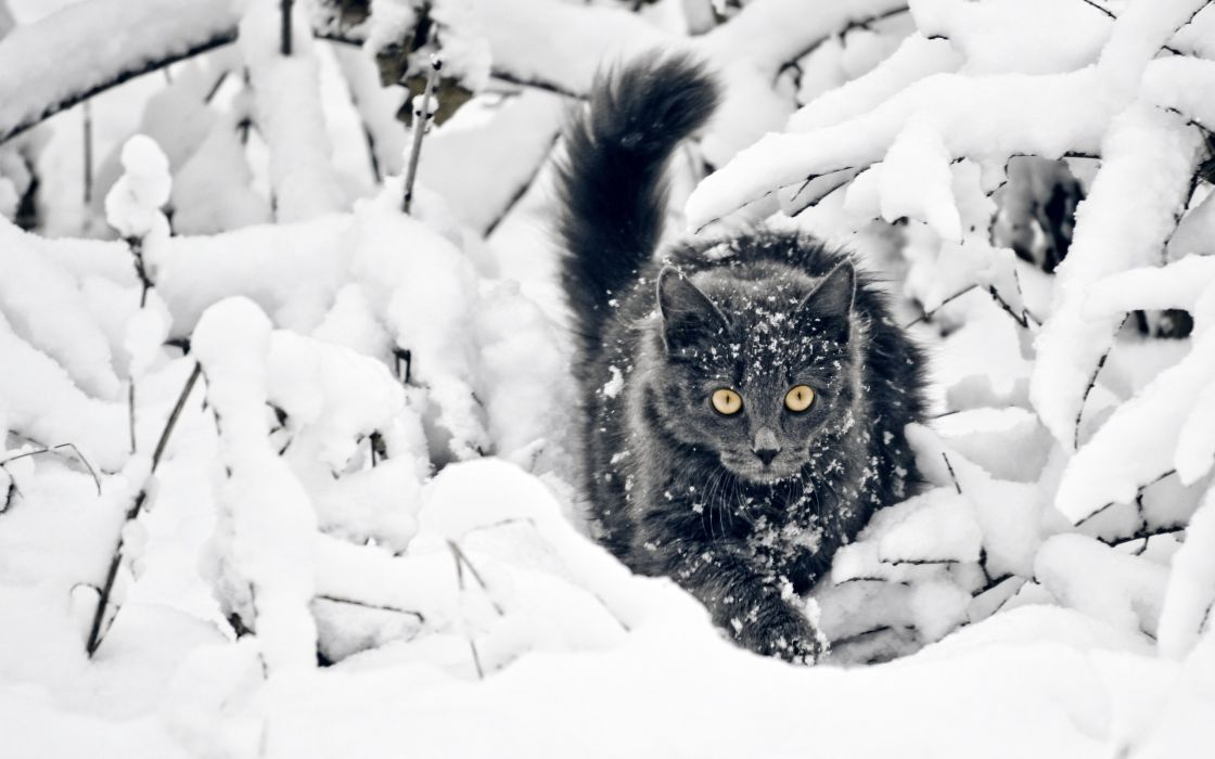 Black cat on the snow wallpaper