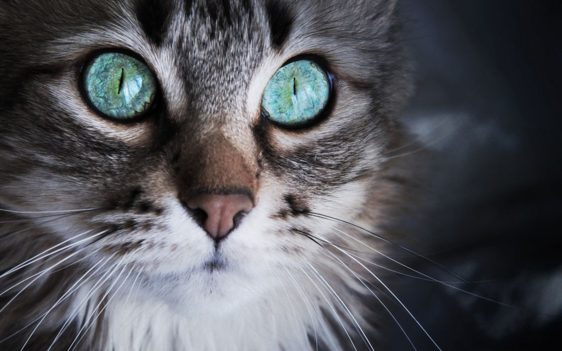 Cat with sky - blue eyes wallpaper