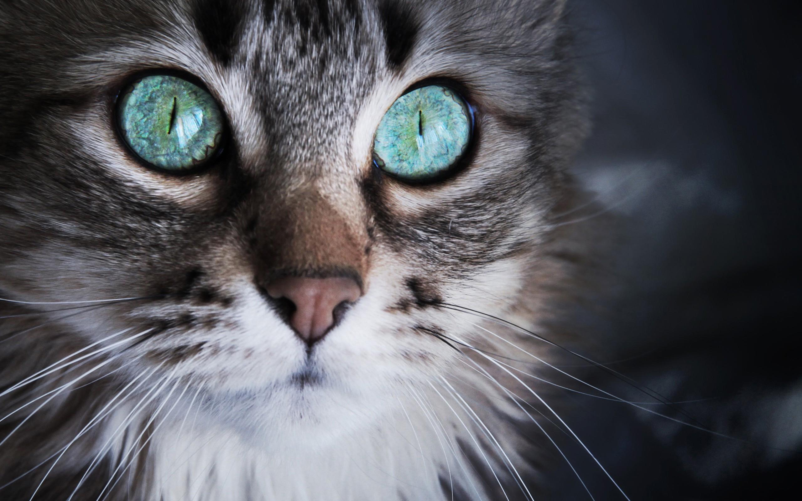 Gray Cat Hazel Eyes