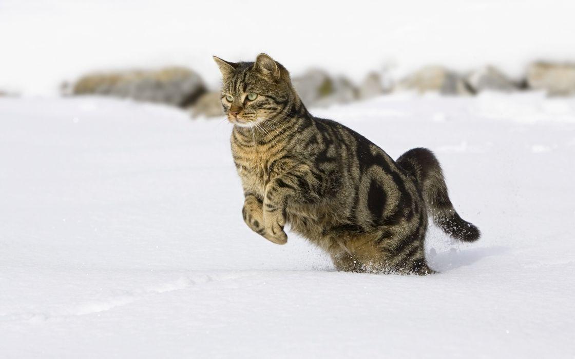 Cat running in the snow wallpaper