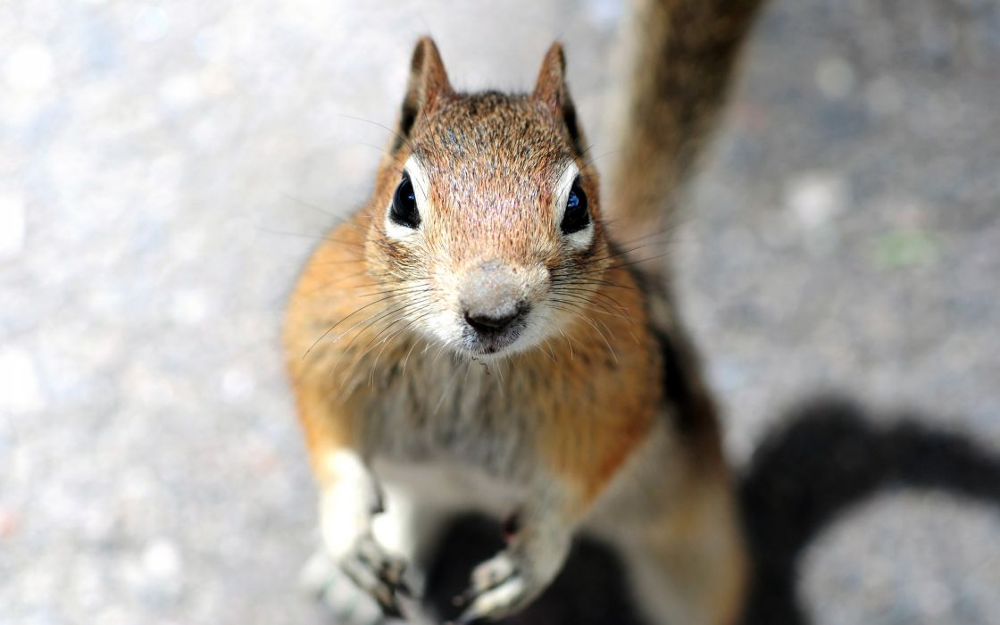 A squirrel is looking into the camera wallpaper