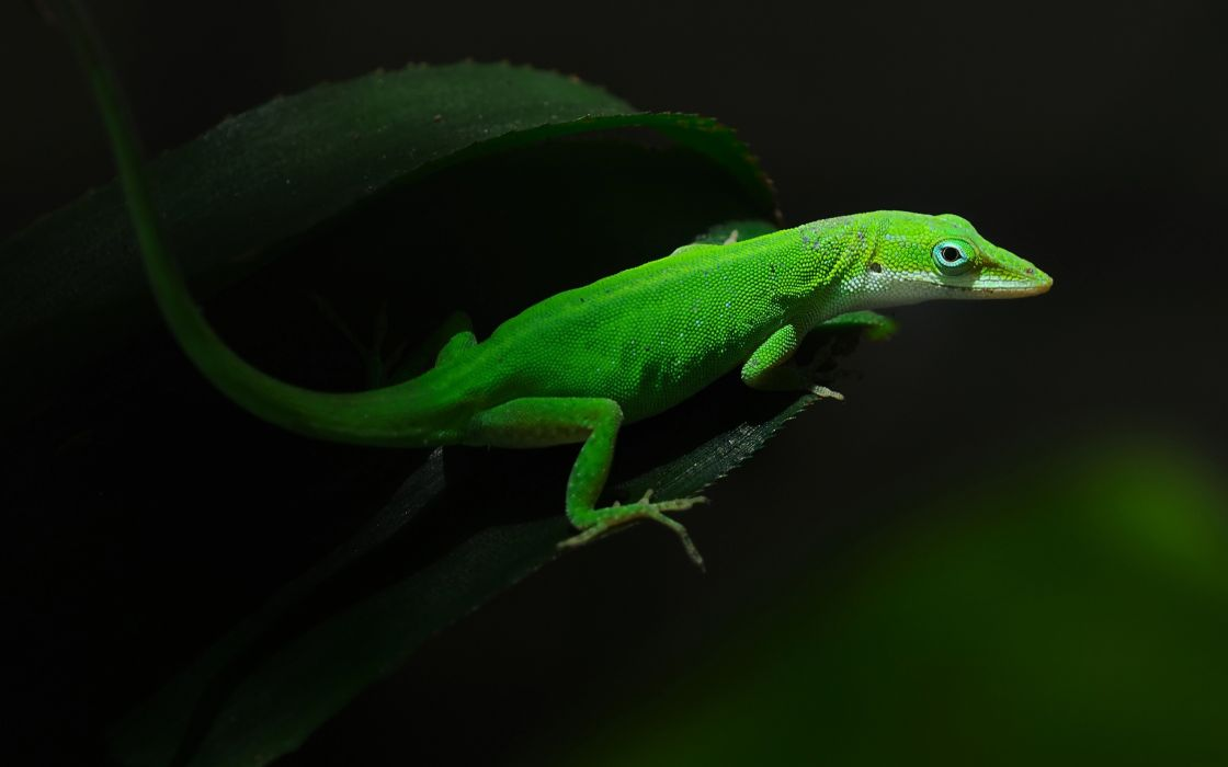Lizard on a green leaf wallpaper
